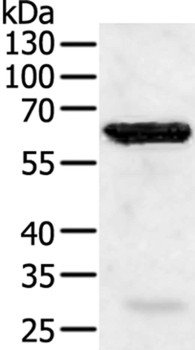 TRAF5 Rabbit anti-Human, Polyclonal, Invitrogen 100 µL; Unconjugated