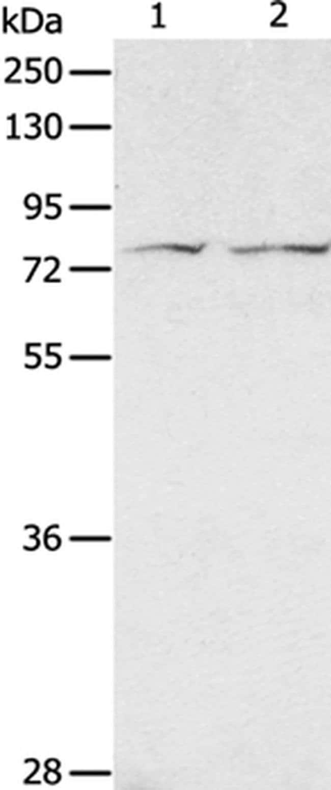 ADAM20 Rabbit anti-Human, Polyclonal, Invitrogen 100 µL; Unconjugated
