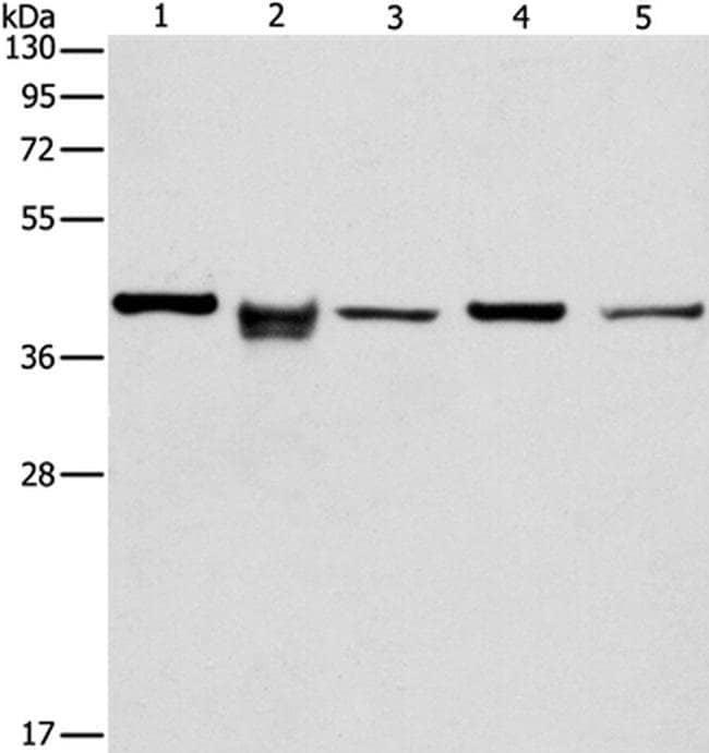 IDH3B Rabbit anti-Human, Mouse, Polyclonal, Invitrogen 100 µL; Unconjugated