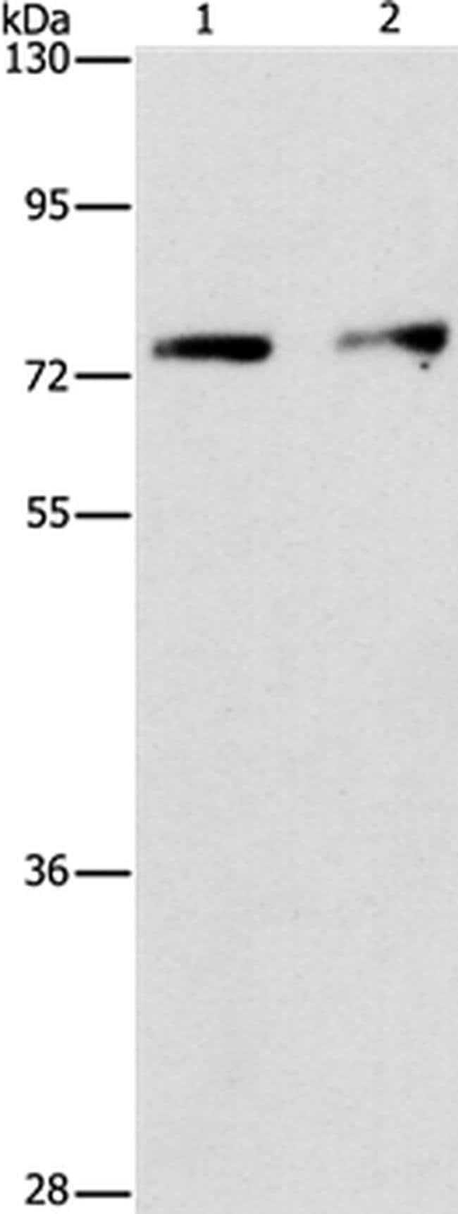 INTS10 Rabbit anti-Human, Polyclonal, Invitrogen 100 µL; Unconjugated