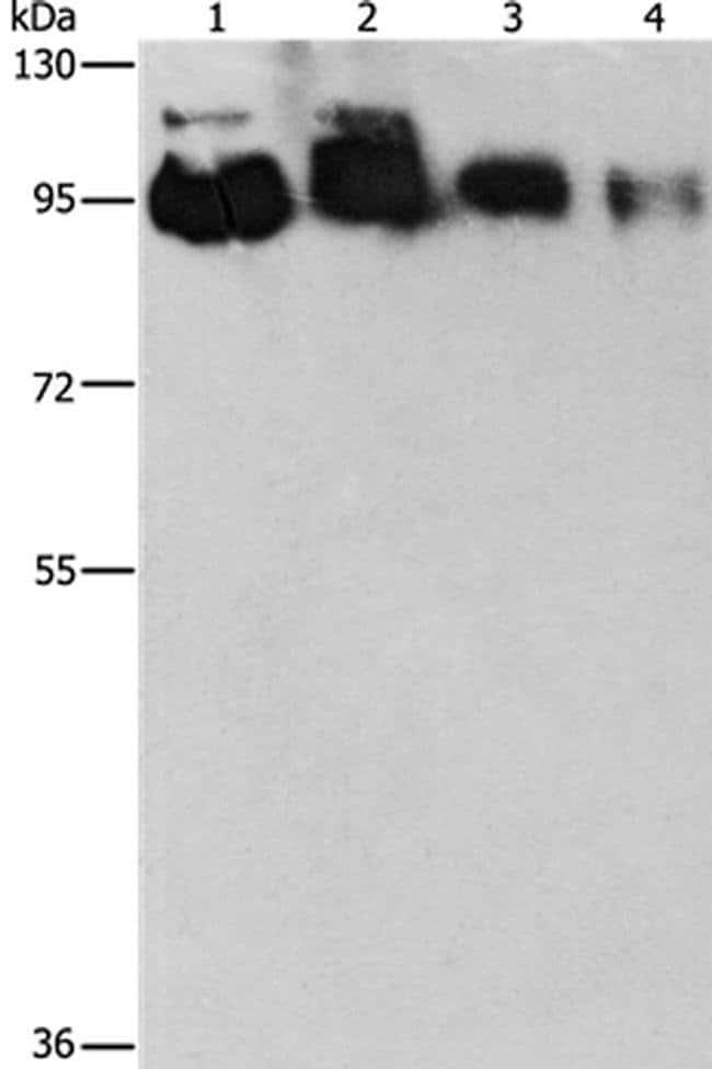 EPS15R Rabbit anti-Human, Polyclonal, Invitrogen 100 µL; Unconjugated