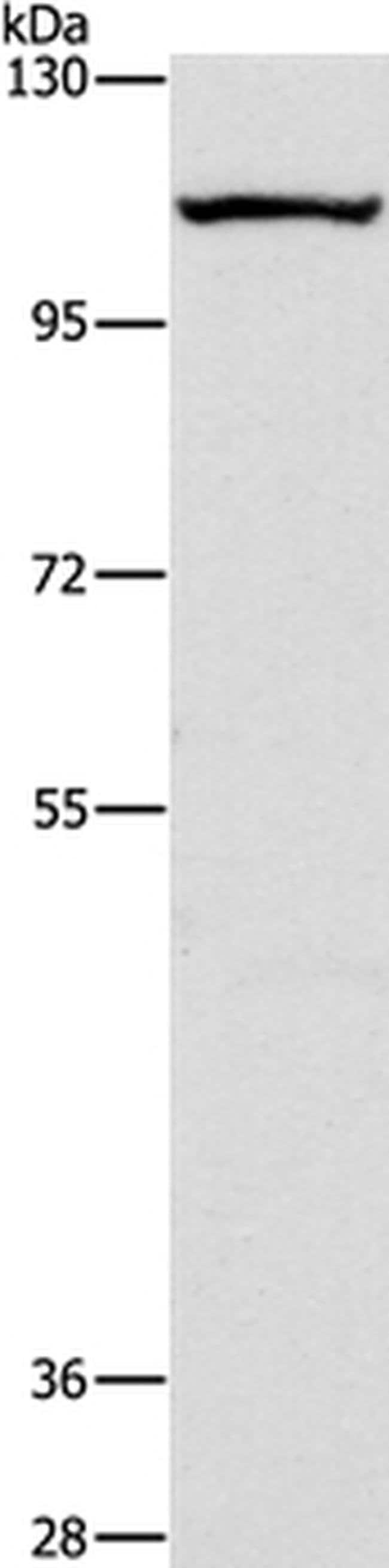 GPIP137 Rabbit anti-Human, Polyclonal, Invitrogen 100 µL; Unconjugated