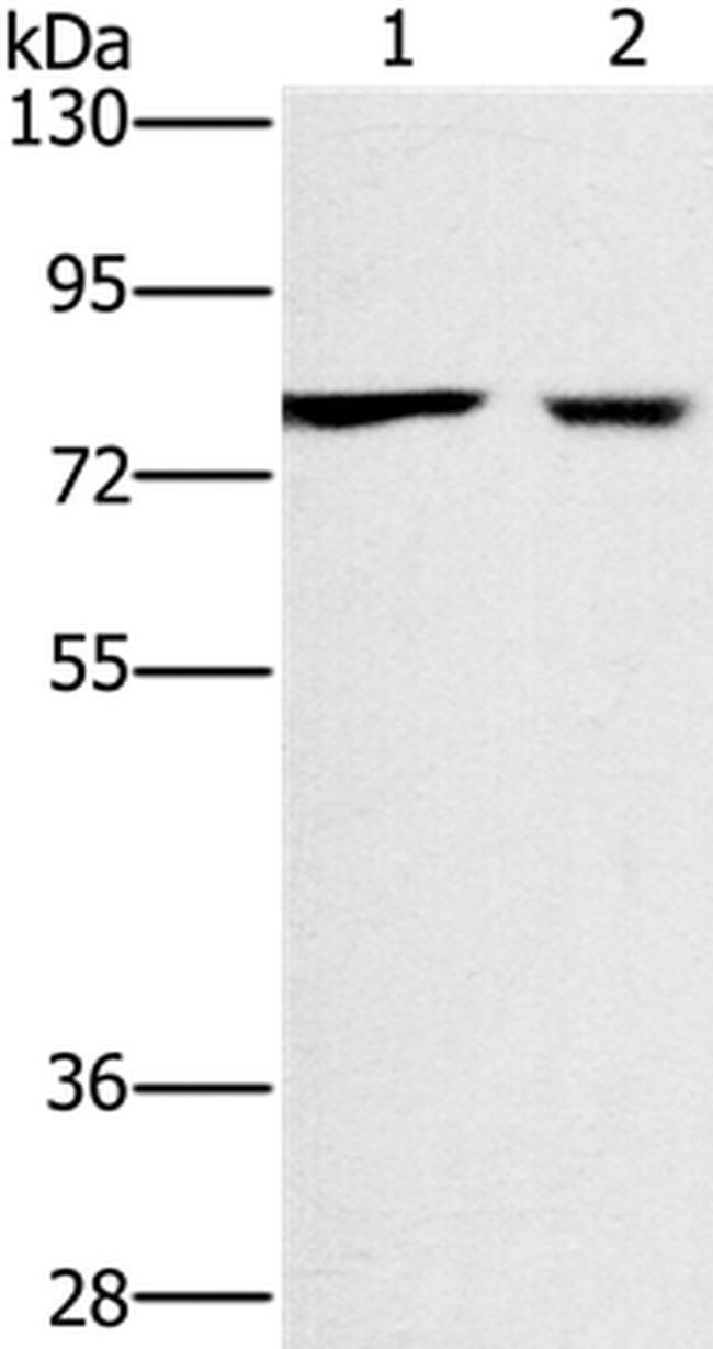 CASC3 Rabbit anti-Human, Polyclonal, Invitrogen 100 µL; Unconjugated