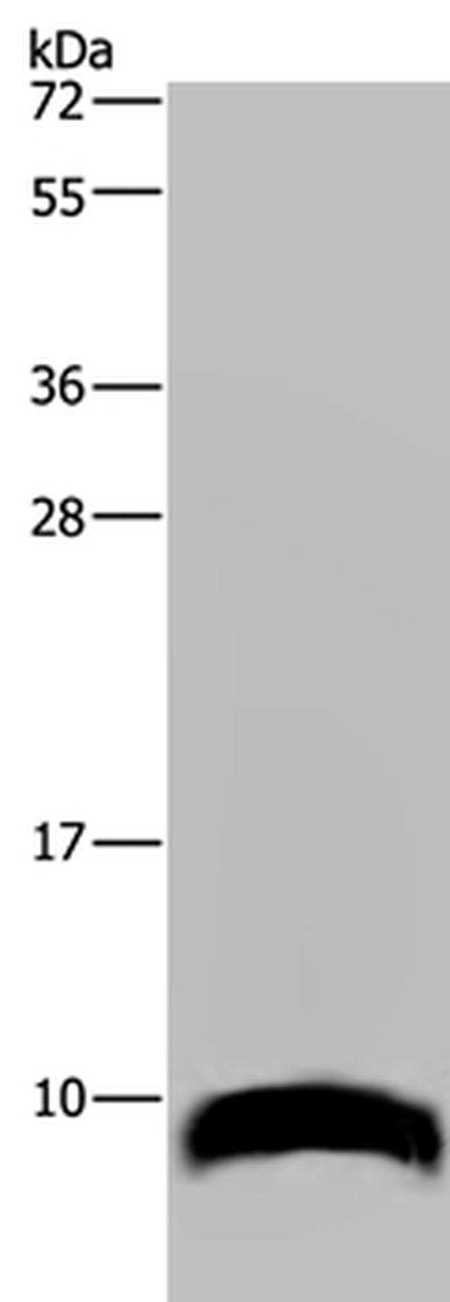 GNG2 Rabbit anti-Human, Mouse, Polyclonal, Invitrogen 100 µL; Unconjugated