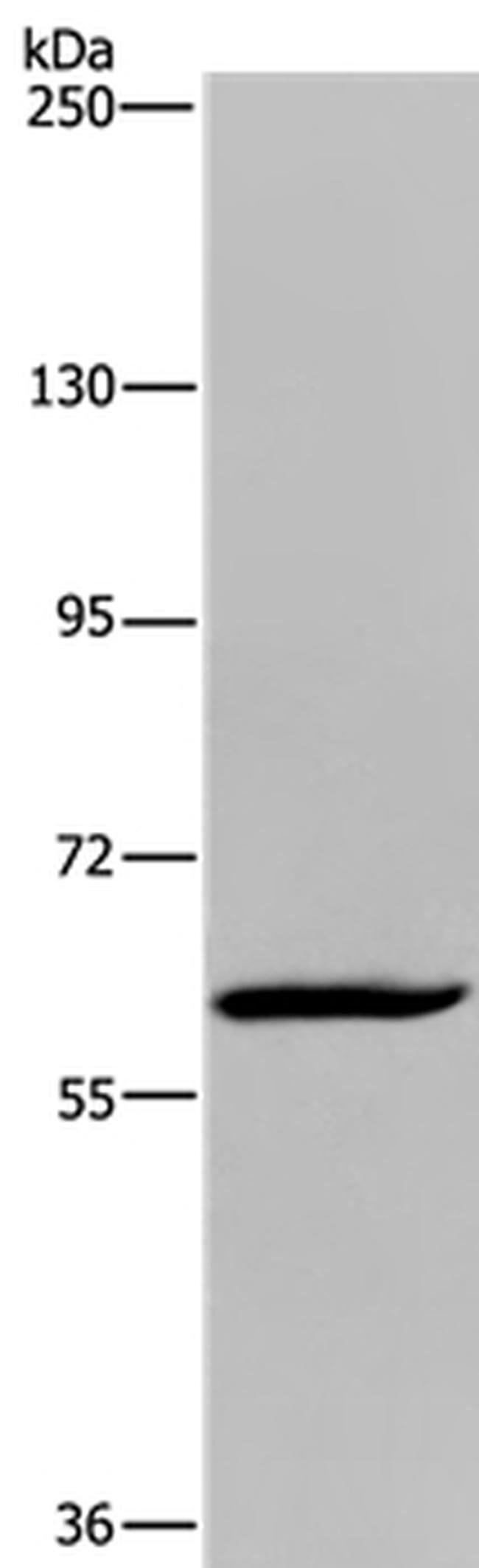 MIER2 Rabbit anti-Human, Polyclonal, Invitrogen 100 µL; Unconjugated