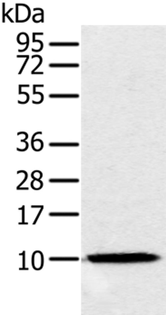 NDUFA2 Rabbit anti-Human, Mouse, Polyclonal, Invitrogen 100 µL; Unconjugated