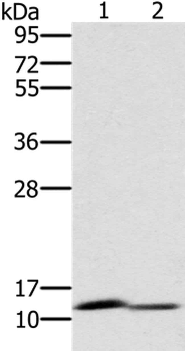 PAGE2 Rabbit anti-Human, Mouse, Polyclonal, Invitrogen 100 µL; Unconjugated