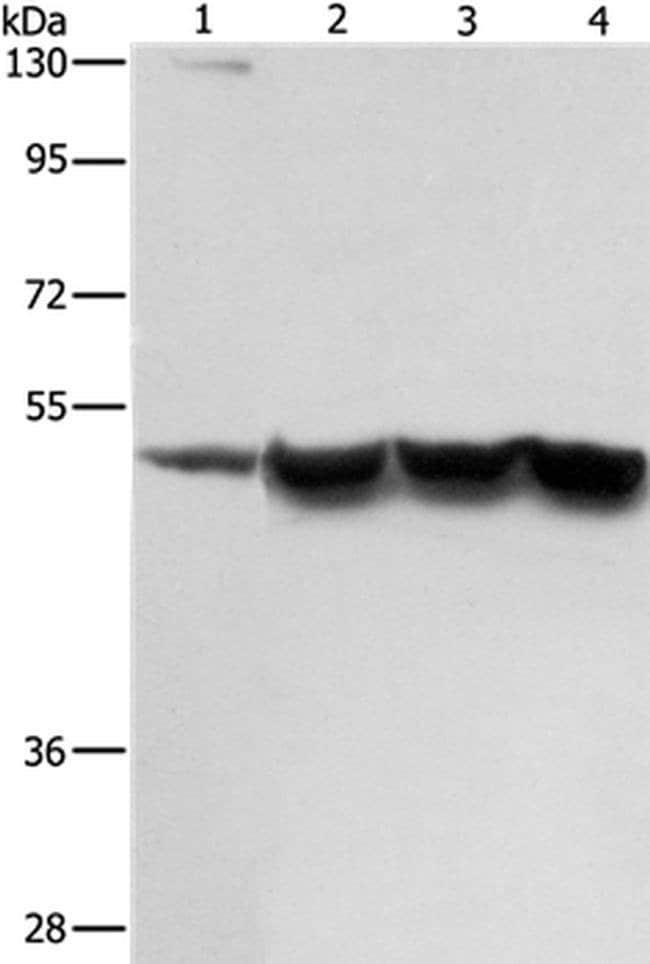 ING1 Rabbit anti-Human, Mouse, Polyclonal, Invitrogen 100 µL; Unconjugated