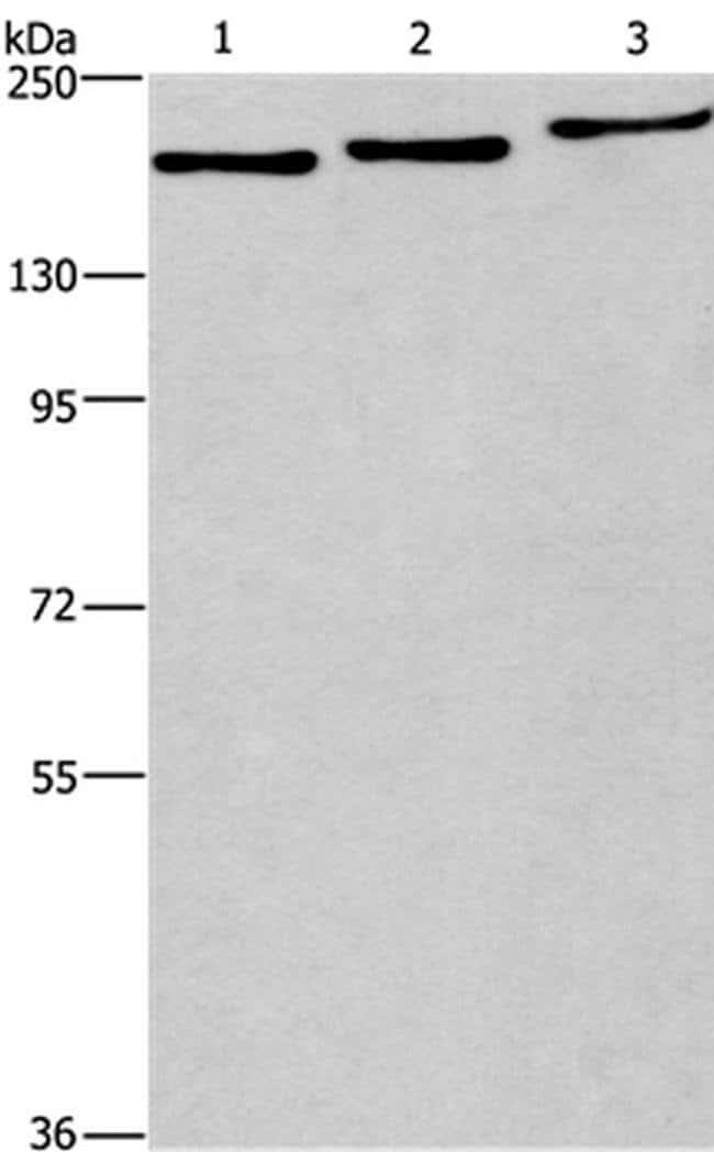 BAG6 Rabbit anti-Human, Polyclonal, Invitrogen 100 µL; Unconjugated