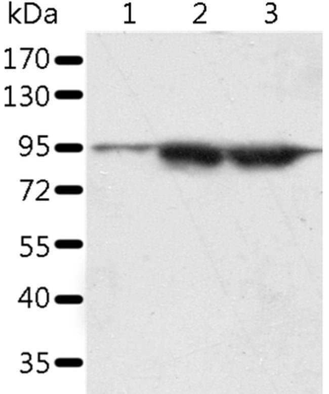 SPATA20 Rabbit anti-Human, Polyclonal, Invitrogen 100 µL; Unconjugated