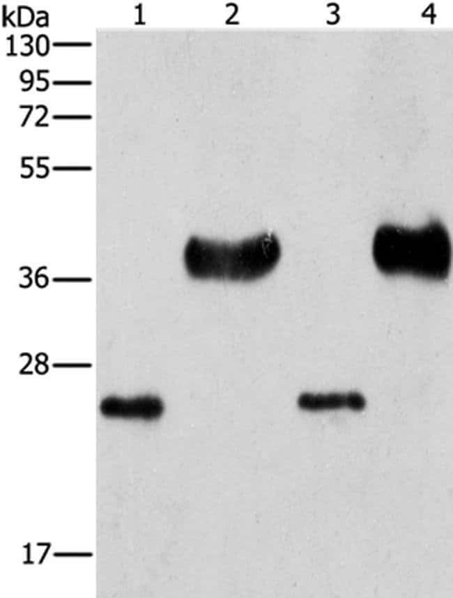 LIN28B Rabbit anti-Human, Mouse, Polyclonal, Invitrogen 100 µL; Unconjugated
