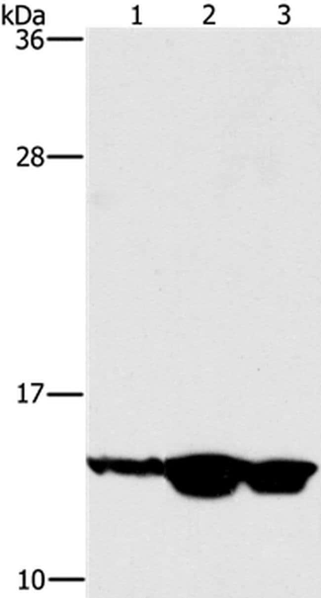 HES5 Rabbit anti-Human, Mouse, Rat, Polyclonal, Invitrogen 100 µL;