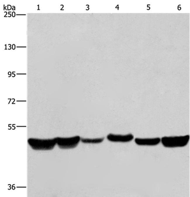 hnRNP H1 Rabbit anti-Human, Mouse, Rat, Polyclonal, Invitrogen 100 µL;