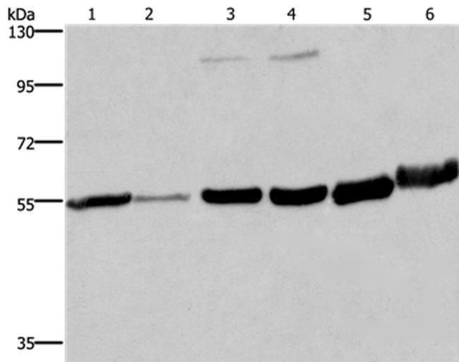 MCHR1 Rabbit anti-Human, Mouse, Rat, Polyclonal, Invitrogen 100 µL;