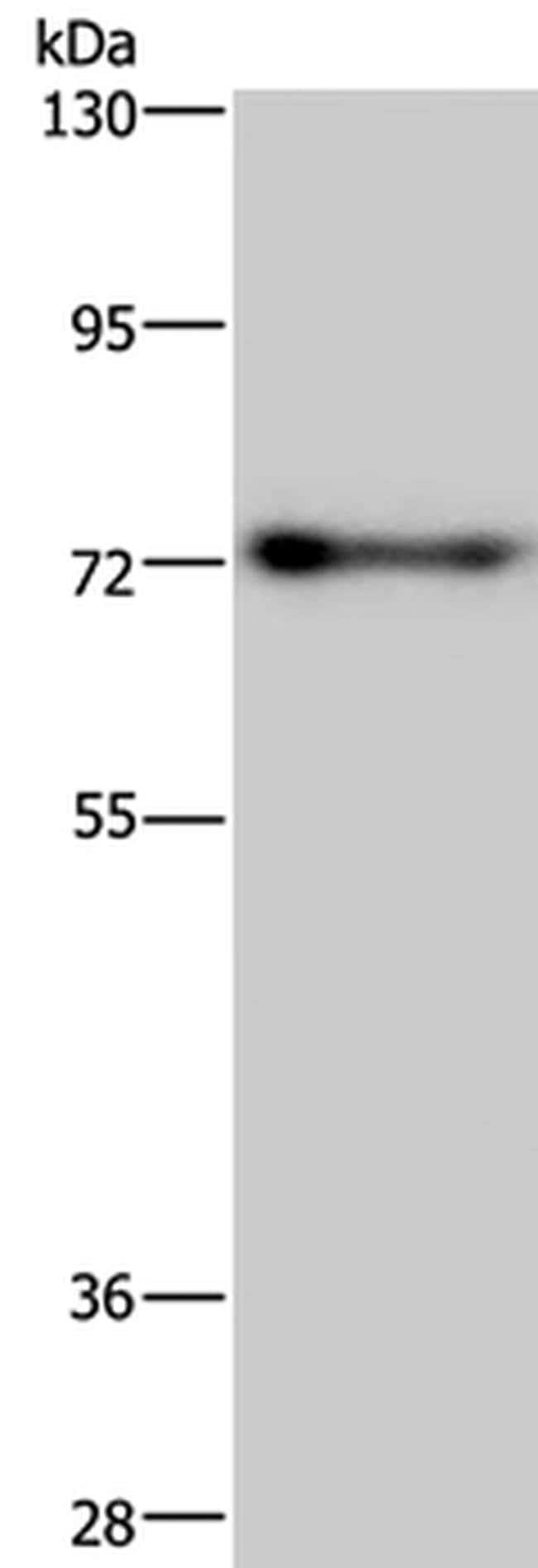 PATZ1 Rabbit anti-Human, Mouse, Polyclonal, Invitrogen 100 µL; Unconjugated