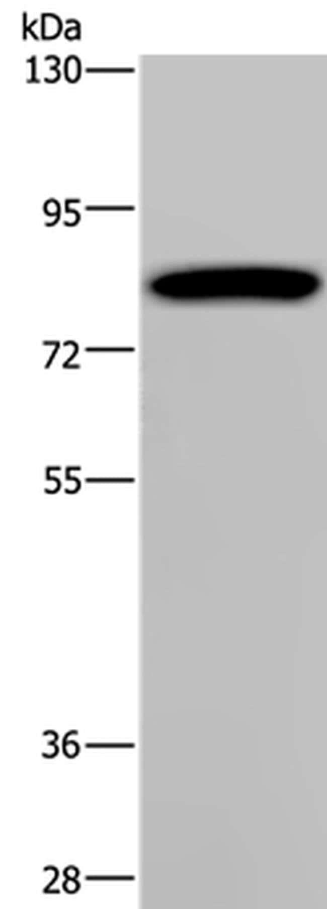 PCDHAC1 Rabbit anti-Human, Polyclonal, Invitrogen 100 µL; Unconjugated
