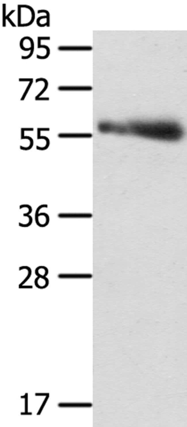 SRPK3 Rabbit anti-Human, Polyclonal, Invitrogen 100 µL; Unconjugated