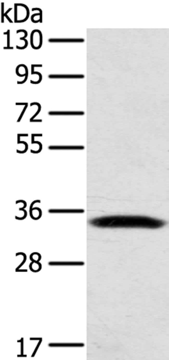 STX11 Rabbit anti-Human, Mouse, Polyclonal, Invitrogen 100 µL; Unconjugated