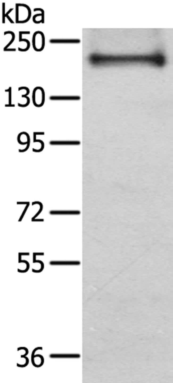 IQGAP2 Rabbit anti-Human, Polyclonal, Invitrogen 100 µL; Unconjugated