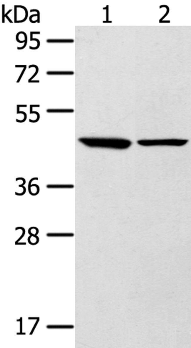 LTB4R2 Rabbit anti-Human, Mouse, Polyclonal, Invitrogen 100 µL; Unconjugated