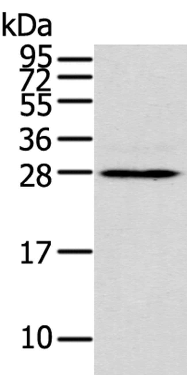 THAP3 Rabbit anti-Human, Polyclonal, Invitrogen 100 µL; Unconjugated