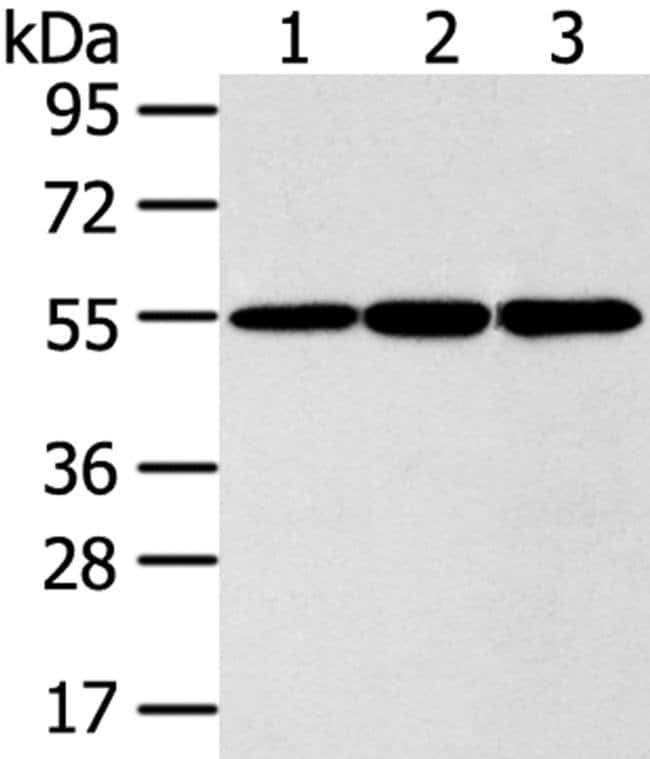 ISM2 Rabbit anti-Human, Polyclonal, Invitrogen 100 µL; Unconjugated