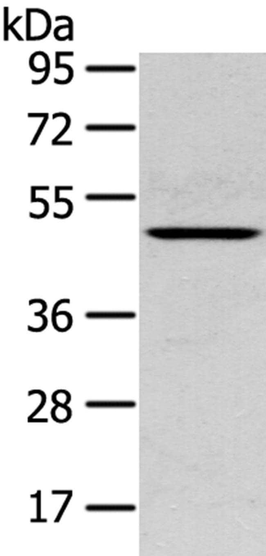 SERPINB11 Rabbit anti-Human, Mouse, Polyclonal, Invitrogen 100 µL;