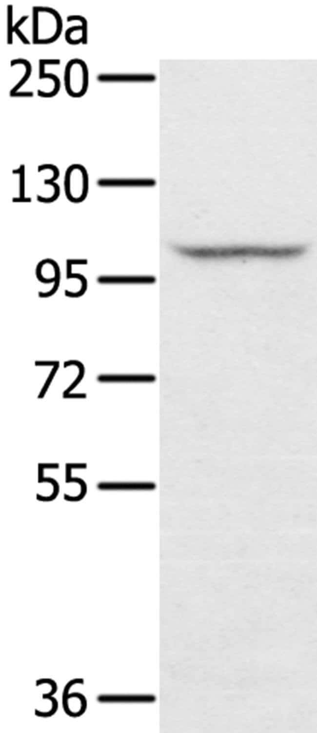 STARD8 Rabbit anti-Human, Polyclonal, Invitrogen 100 µL; Unconjugated