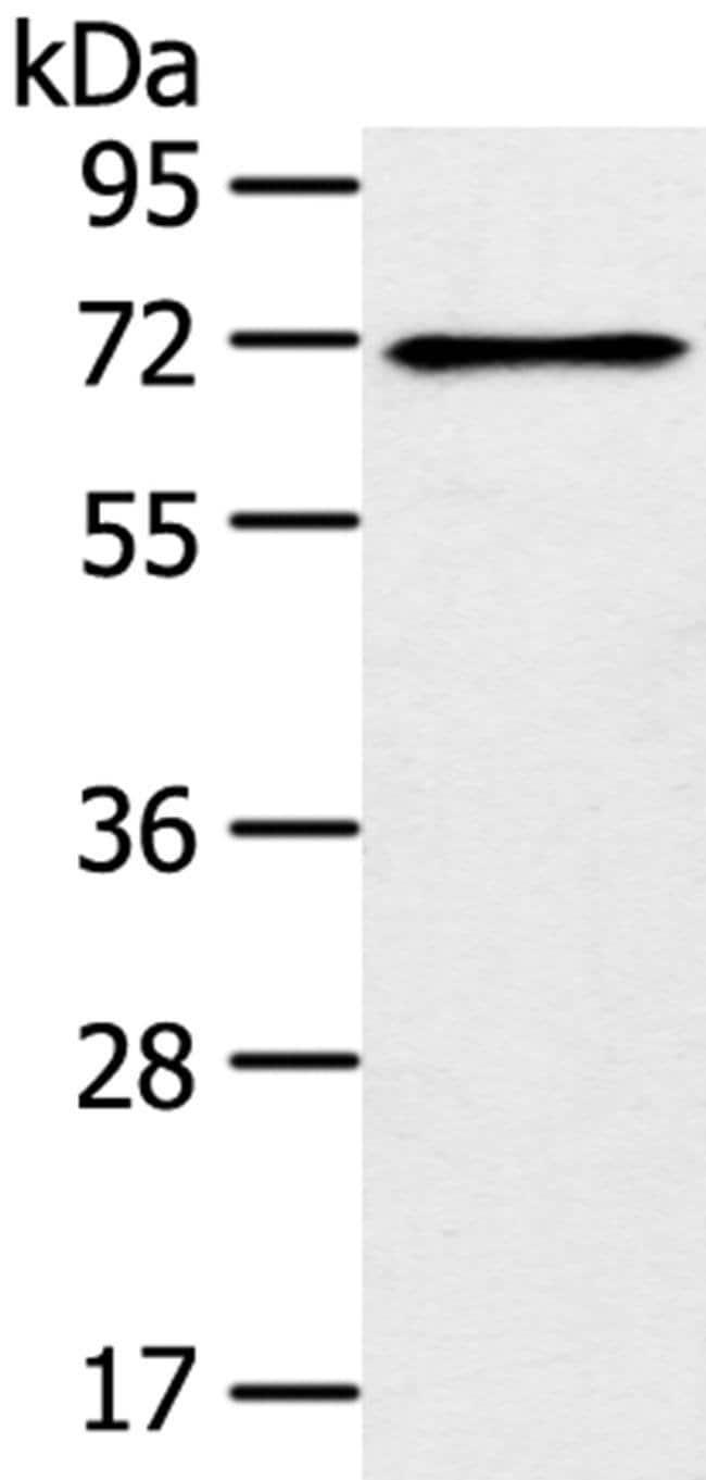 TRIM47 Rabbit anti-Human, Mouse, Polyclonal, Invitrogen 100 µL; Unconjugated
