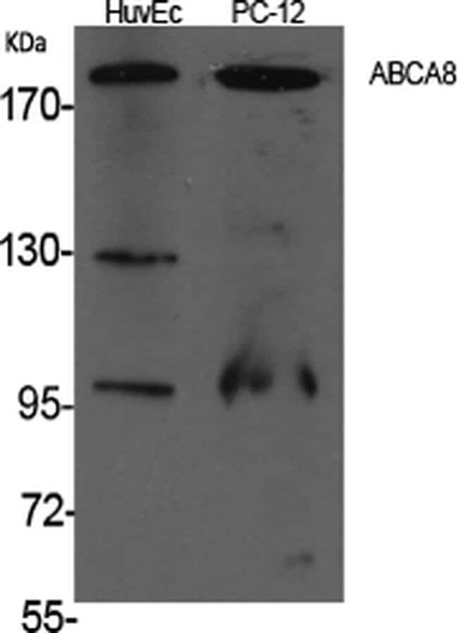 ABCA8 Rabbit anti-Human, Mouse, Polyclonal, Invitrogen 100 µL; Unconjugated