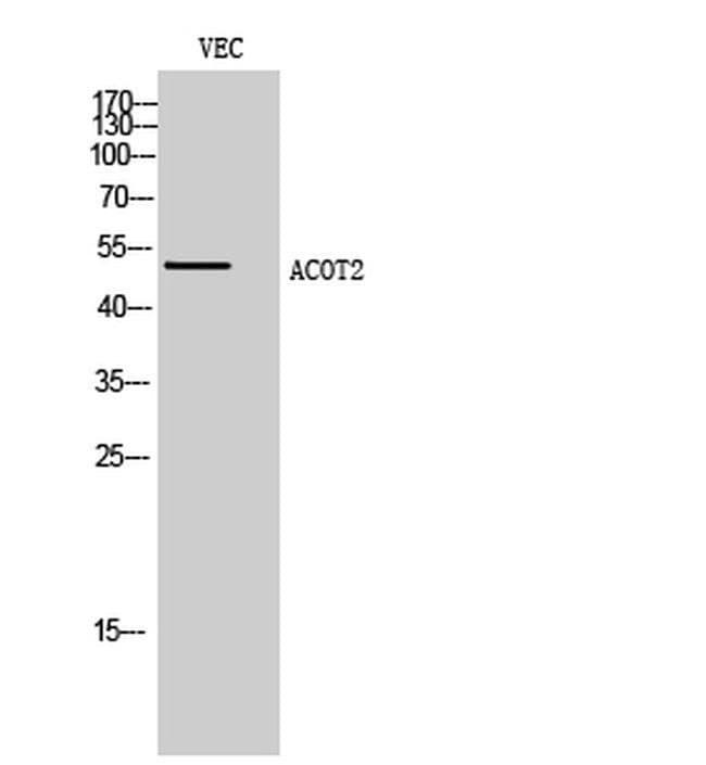 ACOT2 Rabbit anti-Human, Polyclonal, Invitrogen 100 µL; Unconjugated