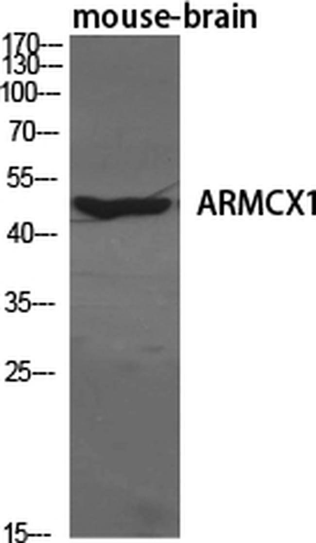 ARMX1 Rabbit anti-Human, Polyclonal, Invitrogen 100 µL; Unconjugated