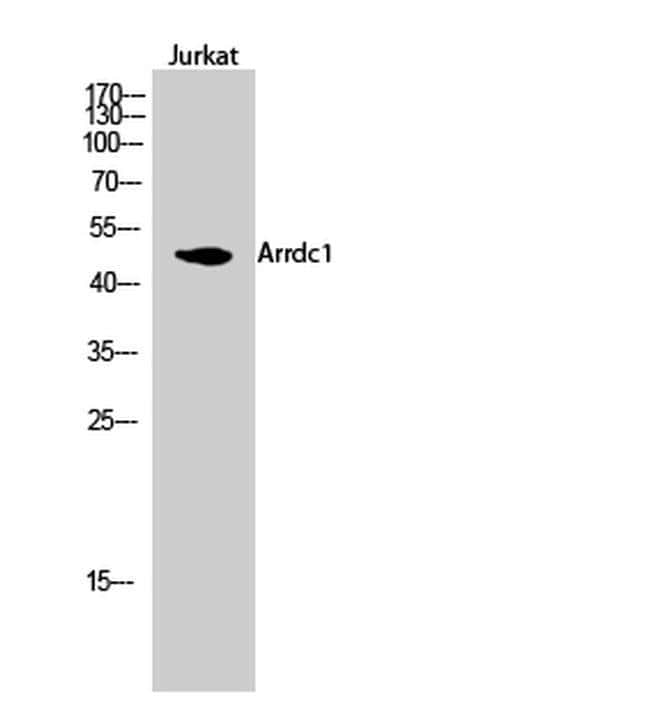 ARRDC1 Rabbit anti-Human, Mouse, Rat, Polyclonal, Invitrogen 100 µL;