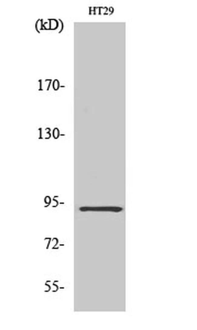 CAGE1 Rabbit anti-Human, Polyclonal, Invitrogen 100 µL; Unconjugated