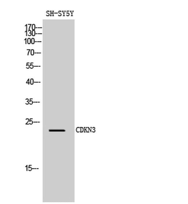 CDKN3 Rabbit anti-Human, Mouse, Polyclonal, Invitrogen 100 µL; Unconjugated