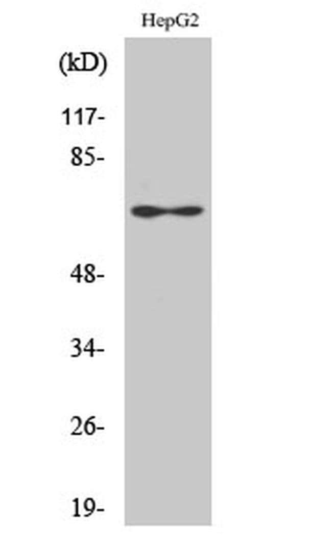 Epsin 2 Rabbit anti-Human, Mouse, Rat, Polyclonal, Invitrogen 100 µL;