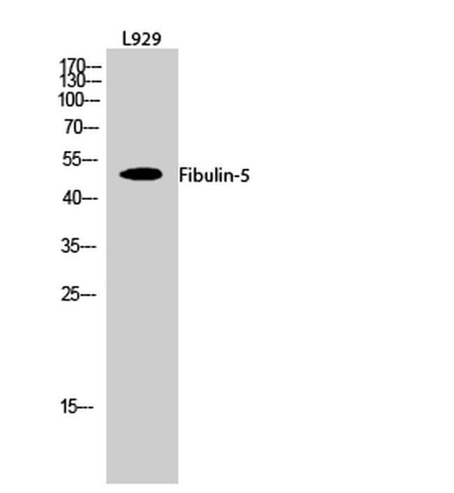 Fibulin 5 Rabbit anti-Human, Mouse, Rat, Polyclonal, Invitrogen 100 µL;