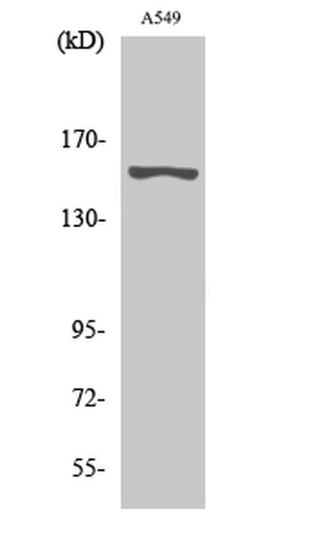 GPR116 Rabbit anti-Human, Polyclonal, Invitrogen 100 µL; Unconjugated