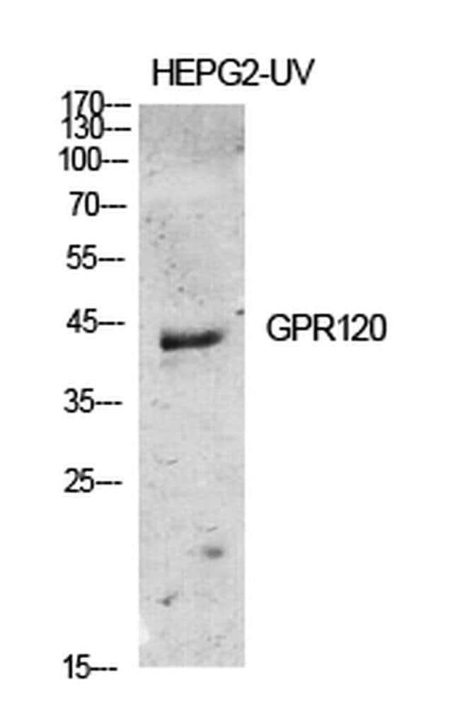 GPR120 Rabbit anti-Human, Mouse, Rat, Polyclonal, Invitrogen 100 µL;
