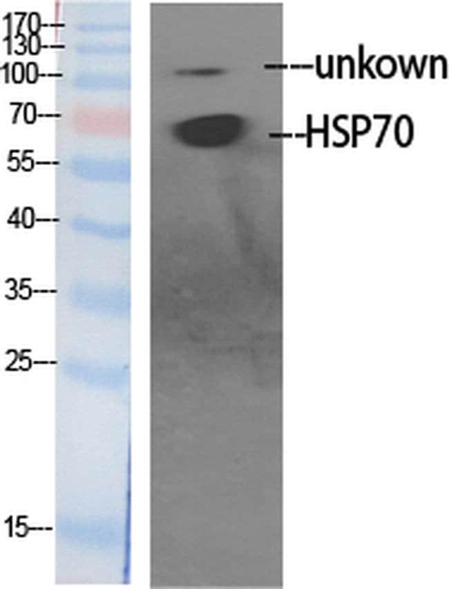 HSP701L Rabbit anti-Human, Mouse, Rat, Polyclonal, Invitrogen 100 µL;