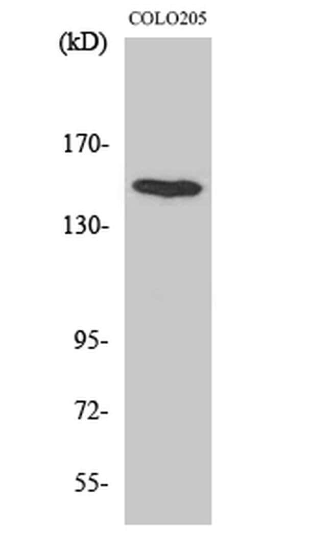 MINK1 Rabbit anti-Human, Mouse, Polyclonal, Invitrogen 100 µL; Unconjugated