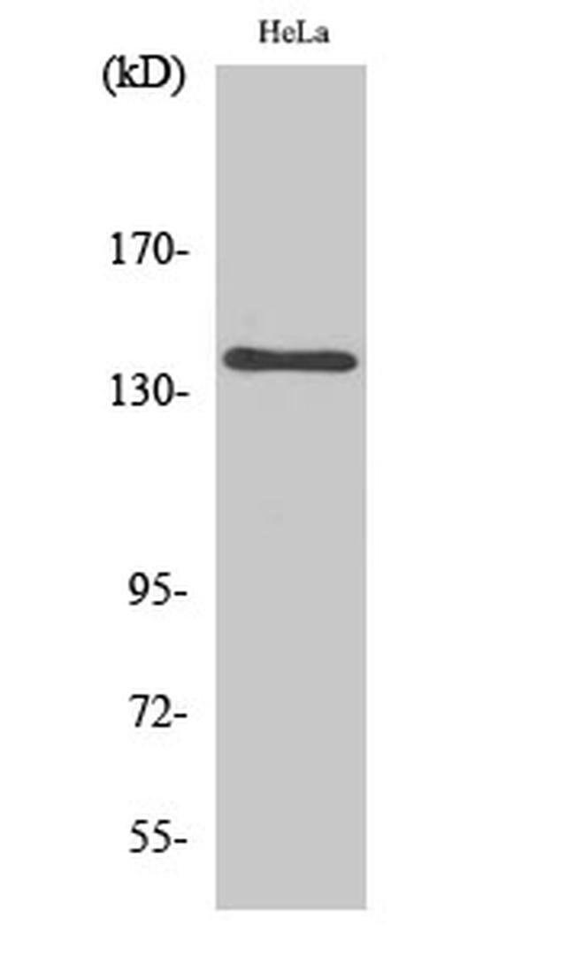 MOV10L1 Rabbit anti-Human, Polyclonal, Invitrogen 100 µL; Unconjugated