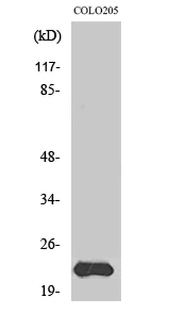 MRPL40 Rabbit anti-Human, Polyclonal, Invitrogen 100 µL; Unconjugated