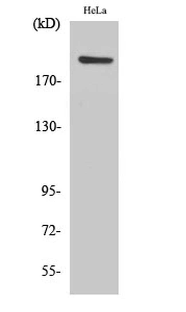 PHF3 Rabbit anti-Human, Mouse, Polyclonal, Invitrogen 100 µL; Unconjugated