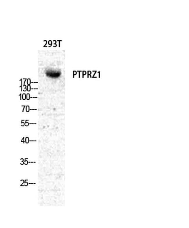 PTPRZ Rabbit anti-Human, Mouse, Rat, Polyclonal, Invitrogen 100 µL;