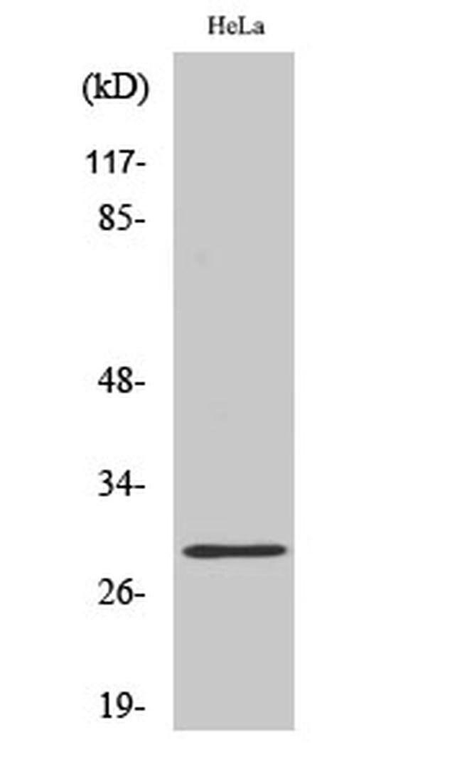 RAB20 Rabbit anti-Human, Polyclonal, Invitrogen 100 µL; Unconjugated