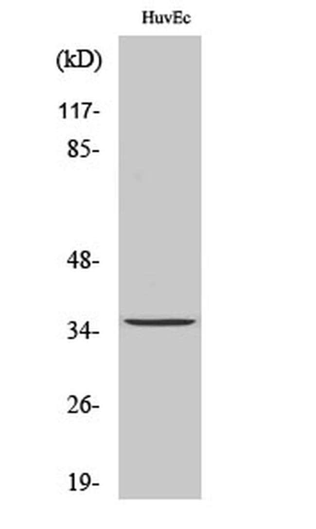 TMBIM1 Rabbit anti-Human, Mouse, Rat, Polyclonal, Invitrogen 100 µL;