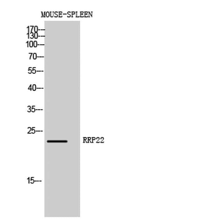 RASL10A Rabbit anti-Human, Mouse, Polyclonal, Invitrogen 100 µL; Unconjugated