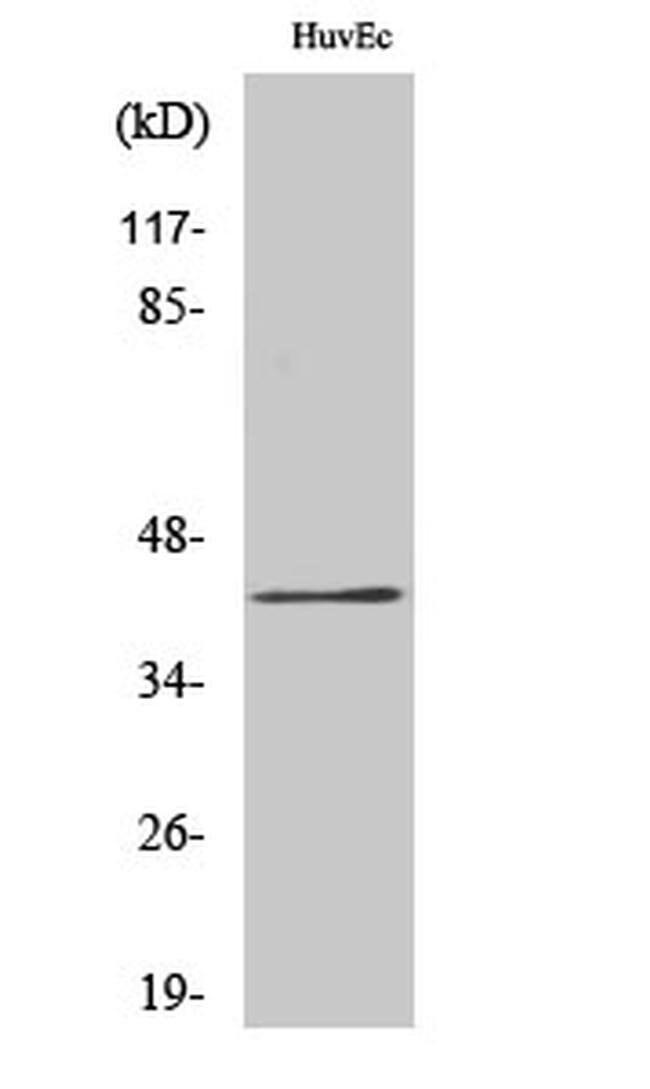 RRS1 Rabbit anti-Human, Mouse, Rat, Polyclonal, Invitrogen 100 µL;