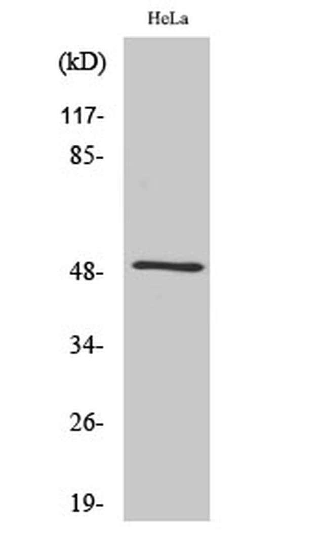 Septin-8 Rabbit anti-Human, Mouse, Rat, Polyclonal, Invitrogen 100 µL;